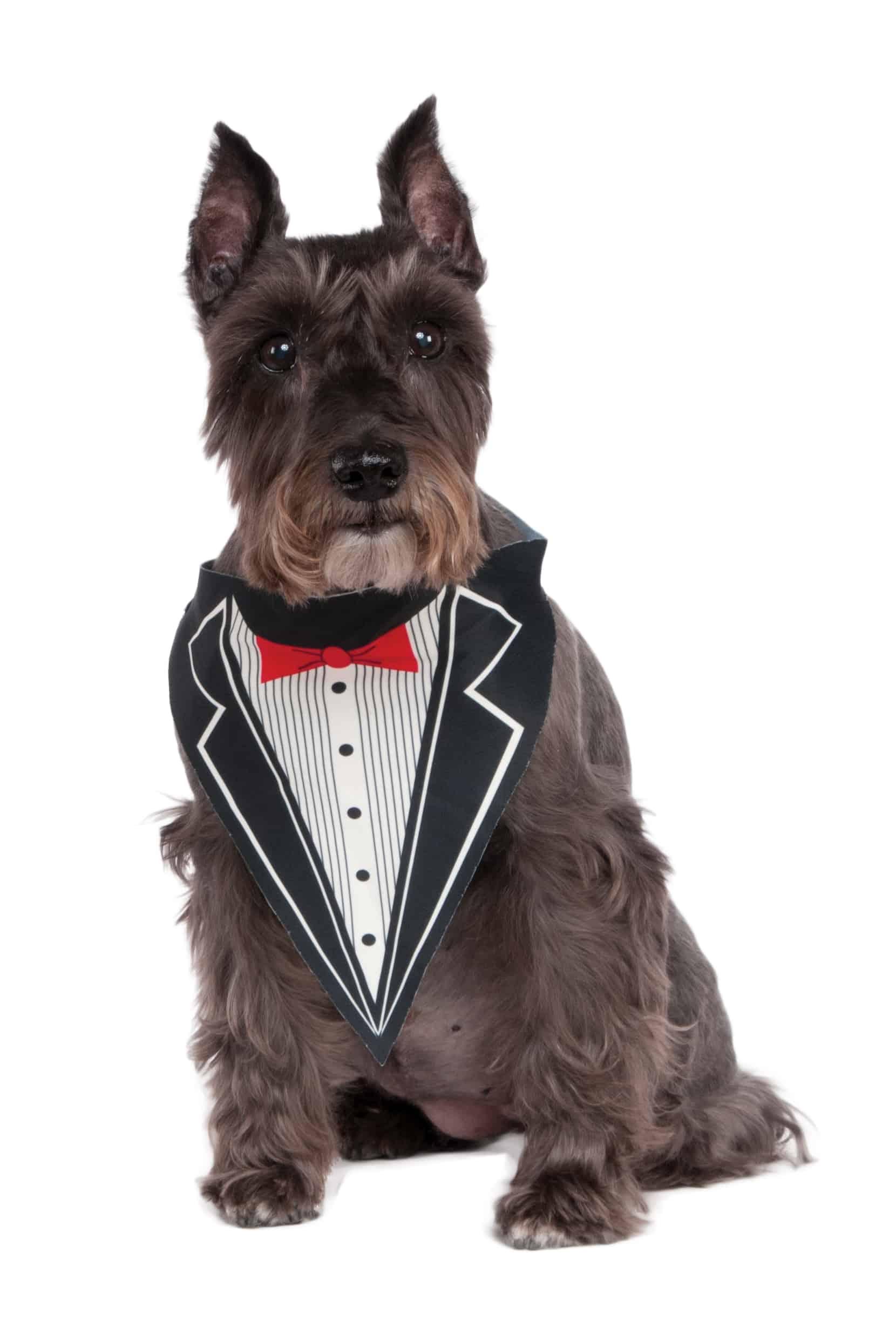 Tuxedo Dog Bandana Costume